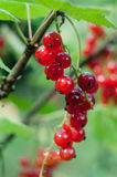 Clusters of red currant Stock Photo