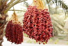 Clusters of red dates with selective focus Stock Photos