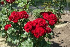 Clusters of red flowers of roses. In June royalty free stock image