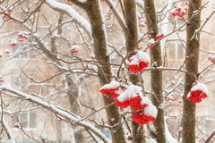 Clusters of a red mountain ash in the winter. Clusters of berries of a red mountain ash are covered with snow in winter time Stock Photos