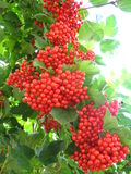 Clusters of the red ripe guelder-rose Stock Images