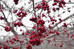 Clusters of Red Wilted Berries Hanging from Tree. Clusters of red, wilted berries, hanging from a tree in the winter time with a white sky background royalty free stock images
