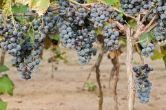Clusters of red wine grape Stock Photos