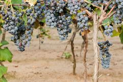 Clusters of red wine grape Stock Photography