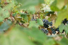 Clusters of red wine grape Royalty Free Stock Photos