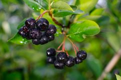 Aronia berries on a branch stock photo