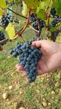 Clusters of ripe black grapes hanging on vine Royalty Free Stock Photos