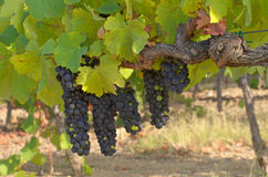 clusters of ripe grapes Royalty Free Stock Image