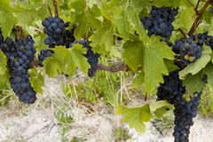 Clusters of ripe red grapes ready for harvest Royalty Free Stock Photography