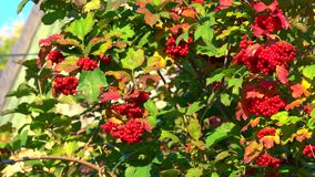 Clusters of ripe red guelder rose slightly waving on the wind close-up 4K. Footage stock video footage