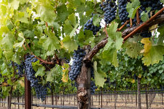 Clusters of ripe red wine grapes on the vine at harvest Royalty Free Stock Image