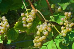 Clusters of ripen grapes ready to be harvested in vineyard in Spain royalty free stock photo