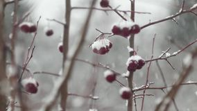 Clusters of rowan berries covered in snow in a winter forest. Clusters of rowan berries covered in winter stock video