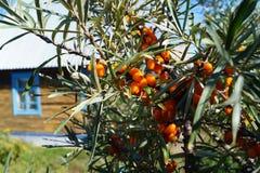 Clusters of sea buckthorn berries Stock Photography