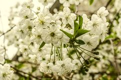 Clusters of tender white flowers of cherry Royalty Free Stock Photography