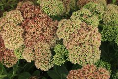 Clusters of tiny pink Sedum flowers in bloom. With the green leaves of the plant in the shadows stock photo