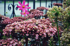 Clusters of Tiny Pink Star Like Flowers. In a flower garden with cosmos in front of an iron fence royalty free stock photos