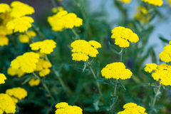 Clusters of tiny yellow flowers in larger clusters. Several clusters of tiny yellow flowers in larger clusters royalty free stock image
