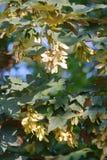 Clusters van de Zaden van de Esdoornboom Stock Foto