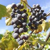 Clusters van druiven royalty-vrije stock afbeeldingen