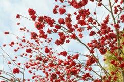 Clusters van een rode lijsterbes tegen de donkerblauwe hemel Stock Foto