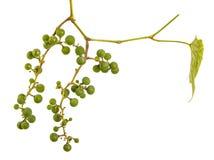 Clusters van jonge onrijpe druiven op de wijnstok Ge?soleerd op wit stock afbeeldingen