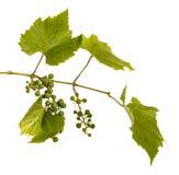 Clusters van jonge onrijpe druiven op de wijnstok Ge?soleerd op wit stock afbeelding