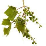 Clusters van jonge onrijpe druiven op de wijnstok Ge?soleerd op wit stock foto