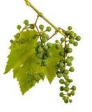 Clusters van jonge onrijpe druiven op de wijnstok Ge?soleerd op wit royalty-vrije stock fotografie