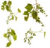 Clusters van jonge onrijpe druiven op de wijnstok Ge?soleerd op wit royalty-vrije stock foto