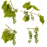 Clusters van jonge onrijpe druiven op de wijnstok Ge?soleerd op wit royalty-vrije stock foto's