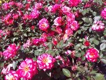 Clusters van kleine rozen stock afbeelding