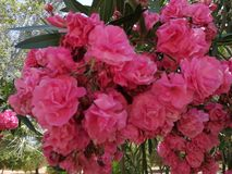 Clusters van oleanders bloem-Andalusia-Spanje stock afbeelding