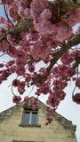 Clusters van roze kersenbloesems Royalty-vrije Stock Afbeelding