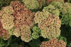 Clusters van uiterst kleine roze Sedum-bloemen in bloei stock foto