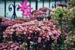 Clusters van Uiterst kleine Roze Ster zoals Bloemen royalty-vrije stock foto's