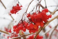 Clusters van viburnum onder rijp Rode bessen in de winter stock afbeeldingen