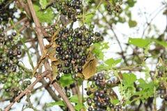 Clusters van Wilde Druiven op de wijnstok stock foto's