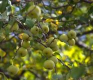 Clusters van wilde krab spples Stock Foto's