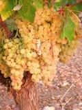 Clusters van witte druiven op wijnstok 10 Royalty-vrije Stock Foto's
