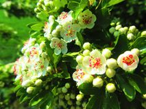 Clusters of White Blossom in vivid colours. Oxfordshire countryside. Beautiful white blossom clustered together surrounded by its own green leaf foliage Stock Photos