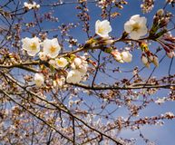 Clusters White Flowering Cherry Blossoms and Blue Skies. Close-up of clusters white flowering cherry blossoms located in the Blue Ridge Mountains of Virginia stock photo