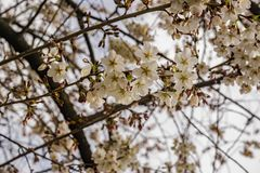 Clusters White Flowering Cherry Blossoms. Located in the Blue Ridge Mountains of Virginia, USA stock photography