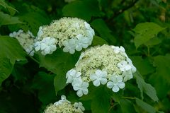 White black haw flower cluster - Viburnum prunifolium. Clusters of white flowers, detail fo a black haw shrub, seletive focus - Viburnum prunifolium stock images