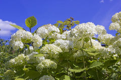 Clusters of white flowers Royalty Free Stock Photography