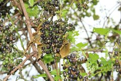 Clusters of Wild Grapes on the vine. Clusters of wild Grapes growing the the vine with leaves in the background stock photos