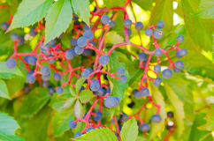Clusters of wild ripe grapes. Small blue berry Stock Image