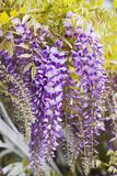 Clusters of wisteria blossoms Royalty Free Stock Image