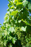 Clusters of young Malbec grapes Stock Images