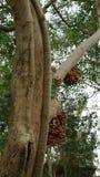 Clustervijgeboom en fruit in Thailand Royalty-vrije Stock Foto's